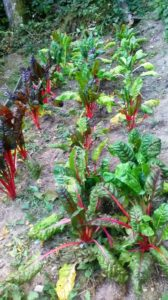 les bettes(rouges)
